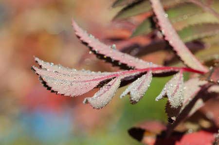 mountain ash: A macro shot of dew on mountain ash