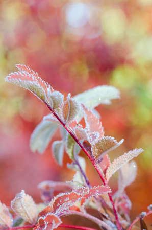 mountain ash: A macro shot of frozen mountain ash leaves