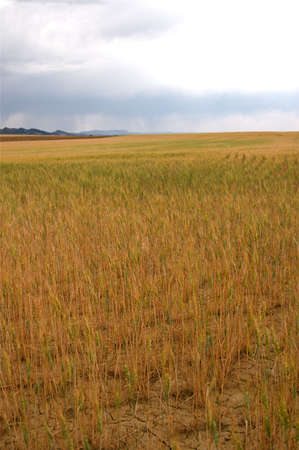 front range: Wheat fields on the front range of Colorado USA Stock Photo