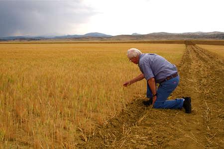 米国コロラド州のフロント レンジの小麦畑