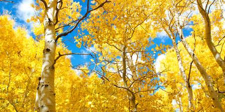 華麗な黄色アスペン ツリーの葉秋にカリフォルニア州のシエラネバダ山脈での秋キャノピー 写真素材
