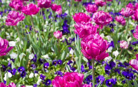 purples: Vibrant Spring Flowers in full bloom in purples, pinks and whites