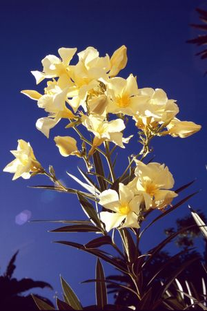 Gorgeous white oleander in the south of Gomera Stock Photo - 2701074