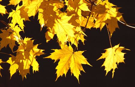 Yellow leaves of a maple tree in the austrian mountains photo