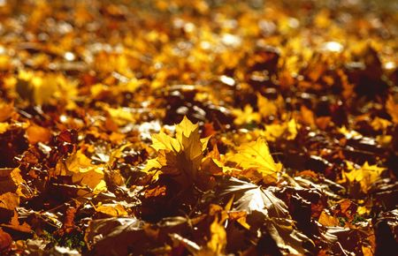 autumnally: Yellow leaves of a maple tree in the austrian mountains