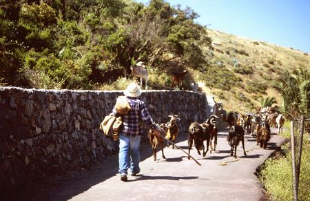 Goatherd with his herd in the south of Gomera, near Arure photo