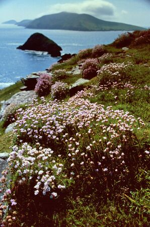 Cliff overgrown with flowers, Dingle Bay , Ireland photo