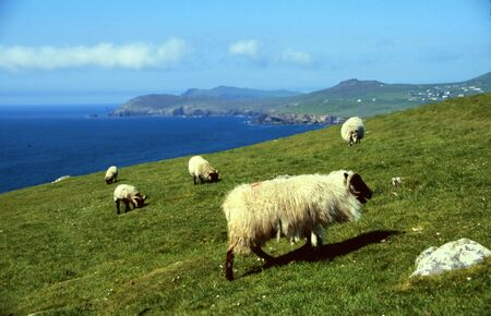 Sheep at coastline in western Ireland, Dingle, County Kerry