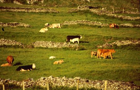 Cows and calf in the meadow near the Ring of Kerry, Ireland photo