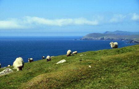 Sheep at coastline in western Ireland, Dingle, County Kerry photo