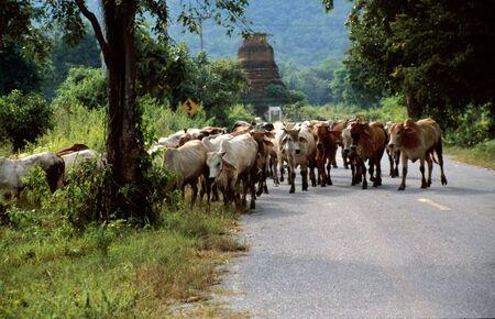 Cow-herd on the street near Ayutthaya, Thailand photo