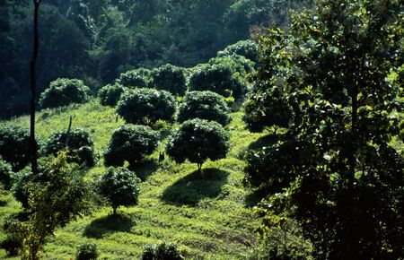 uplands: Plantation in the uplands of Thailand near Chiang Mai