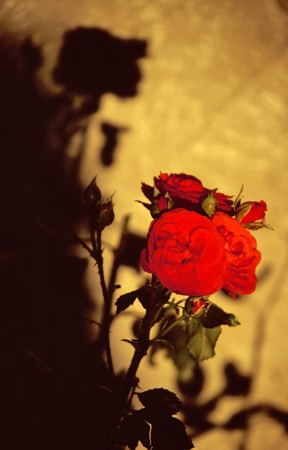 Rose with shadow on a cemetery on the island in the Chiemsee photo
