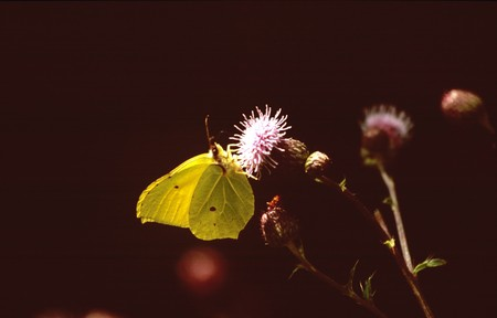 gonepteryx: butterfly in the park of the Palace of Herrenchiemsee in  Bavaria, Germany