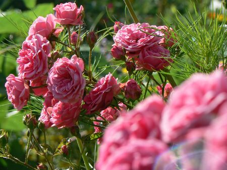 Bed of roses in the palace garden of Freudenberg, Hesse, Germany Stock Photo - 4227344