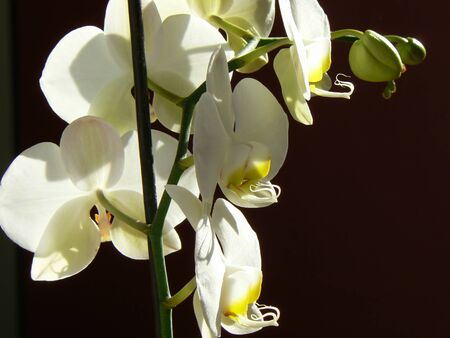 inddor: White orchid with black background