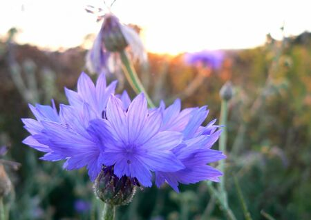cornflower in wildflower meadows in the Rheingau, Hesse, Germany Stock Photo - 4257881
