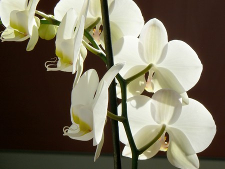 inddor: White orchid from macro view Stock Photo