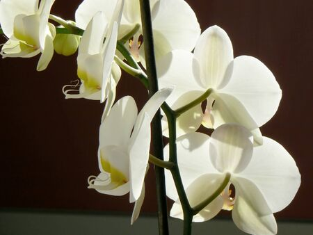 inddor: White orchid with red background Stock Photo
