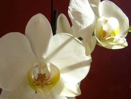 White orchid with red background Stock Photo - 4257886