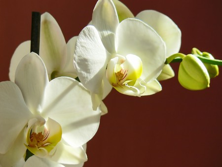 White orchid with red background Stock Photo - 4271972