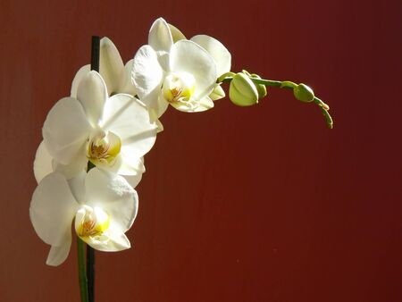 White orchid with red background Stock Photo - 4271971