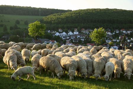 countrified: Flock of Sheep in the Taunus mountains in Germany Stock Photo