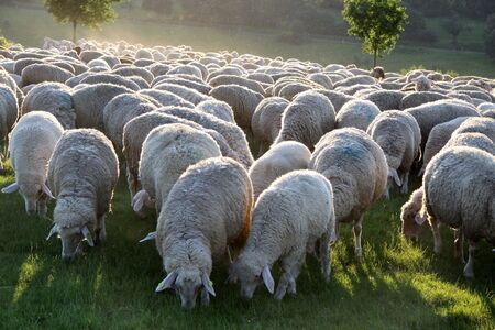 herdsman: Flock of Sheep in the Taunus mountains in Germany Stock Photo