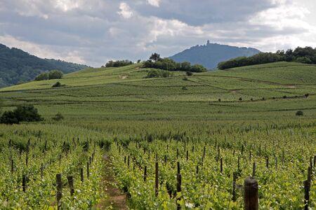 Castle and vineyard in spring time near Dambach-la-ville, Alsace, France Reklamní fotografie
