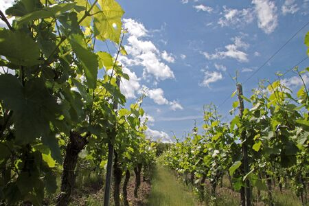 viniculture: Vineyard in spring time near Dambach-la-ville, Alsace, France