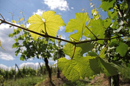 Vineyard in spring time near Dambach-la-ville, Alsace, France