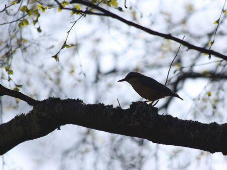 mockingbird: Small Mockingbird (nuthatch) sitting on a branch