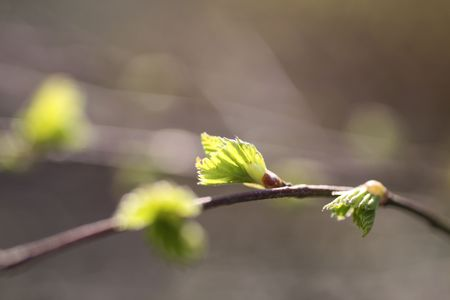 unfold: Young leaves of birch tree in spring time