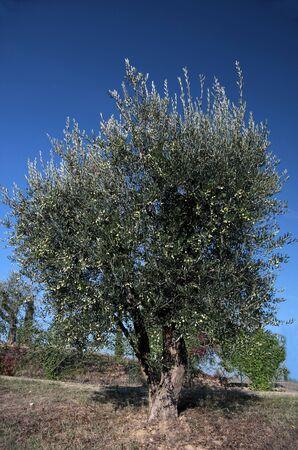 lamiales: Olive tree in Tuscany near Gambassi Terme