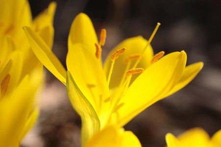 colchicum autumnale: Yellow meadow saffron on a hillside in Tuscany