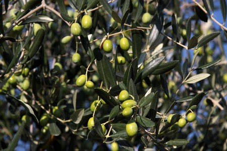tuscany landscape: Green olives on the tree in an olive grove in Tuscany