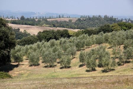 arboleda: Arboleda de oliva en Terme de Gambassi en la Toscana, Italia  Foto de archivo