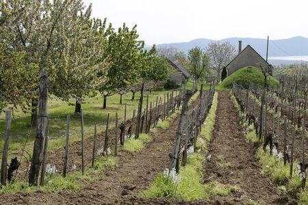 instincts: Vineyard in spring time near Aszofoe at Lake Balaton, Hungary