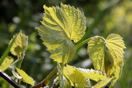 Young grape leaves in the spring  at Lake Balaton, Hungary Stock Photo - 7470680