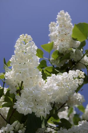 kerneudikotyledonen: White Lilac blossoms bear Aszof� at Lake Balaton, Hungary