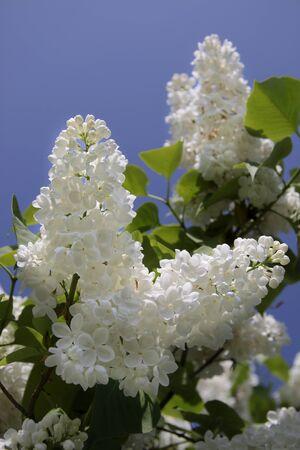 kerneudikotyledonen: White Lilac blossoms bear Aszof� at Lake Balaton, Hungary