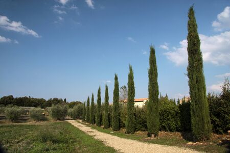 cypress tree: Cypress tree alley in Tuscany