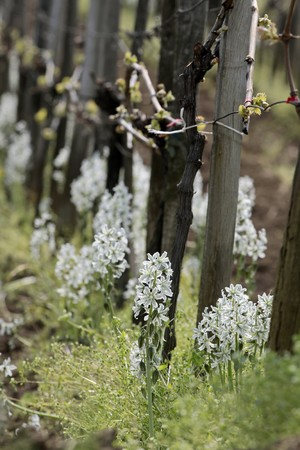 ornithogalum: White blossoms of Ornithogalum nutans at Lake Balaton in Aszof�, Hungary