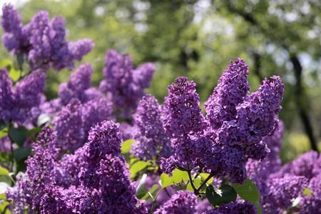 kerneudikotyledonen: Purple Lilac blossoms bear Aszof� at Lake Balaton, Hungary
