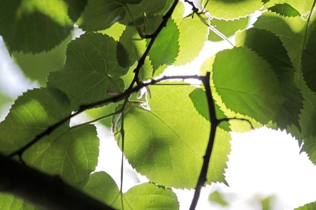 basswood: Leaves of a linden tree in the park of palace Festetics in Keszthely at Lake Balaton, Hungary