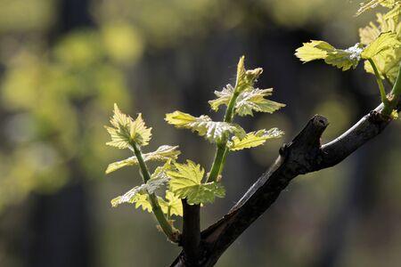 Uva giovane foglie nel periodo primaverile al Lago Balaton, Ungheria