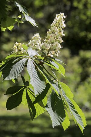 Blooming chestnut tree in the park of Palace Festetics in Keszthely at Lake Balaton, Hungary Stock Photo - 7859888