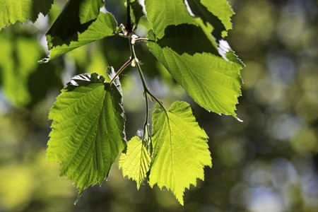 limetree: Leaves of a linden tree in the park of palace Festetics in Keszthely at Lake Balaton, Hungary