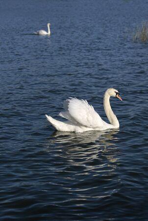 balaton: Swans on Lake Balaton