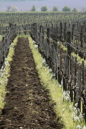 instincts: Vineyard in spring time near Aszof� at Lake Balaton, Hungary